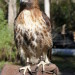 Hawk at Sanford Zoo thumbnail